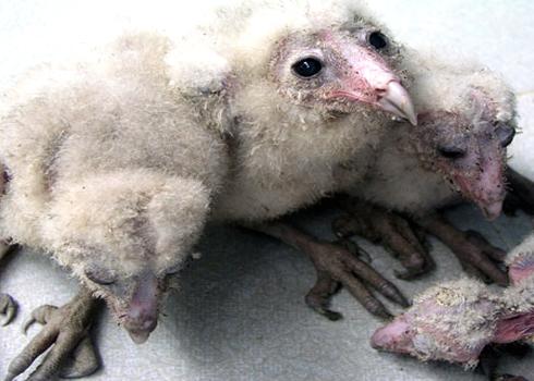 Loài chim lạ từng được cho là loài Đại Bàng làm tổ trong nhà ông Phô ở xã Điện Hòa, huyện Điện Bàn, tỉnh Quảng Nam. Ảnh: H.N