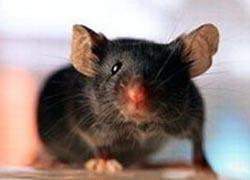 Chuột có thể hát như người