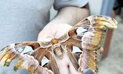 Con bướm khổng lồ