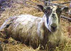 Cừu sống sót sau 11 ngày bị vùi trong tuyết