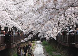 Lễ hội hoa anh đào lãng mạn ở Hàn Quốc