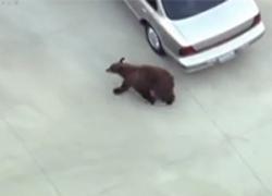 Gấu đen bị lạc