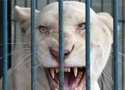 14 con sư tử trắng giữa Bangkok
