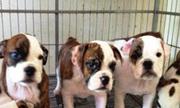 'Mở trang trại nuôi chó thịt cầm chắc thua lỗ'