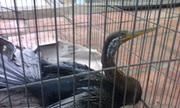 Bắt được chim đầu rắn tại Long An