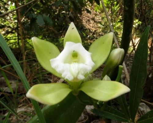 Lan Vani trắng (Vanilla albida Bl.):   Dây leo phân nhánh nhiều, dài 5-6m, bám trên các cây gỗ hoăc cây bụi. Thân màu xanh đậm, đường kính 0,7cm. Phiến lá dày láng, hình ellip hơi hẹp, đầu nhọn, dài đến 15cm . Hoa tự chùm, 3-6 hoa, hoa to, lá đài và cánh hoa có màu vàng lục dài 4-5cm; môi hình tam giác màu trắng, có lông. Mùa ra hoa: tháng 2-4. Loài này còn được có tên gọi đồng danh là Vanilla yersiniana Guill. (để tưởng nhớ Bác sỹ A.Yersin, người đã khám phá Hòn Bà năm 1915).   Loài Vani trắng thường hiện diện ở rừng ẩm ven suối, phân bố tại Khu BTTN Hòn Bà và Ba Hồ (Ninh Hòa), cao độ khoảng 300-400m.