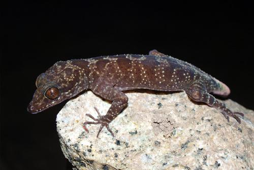 Thằn lằn ngón king-sa-đa Cyrtodactylus kingsadai Ảnh: Phùng Mỹ Trung