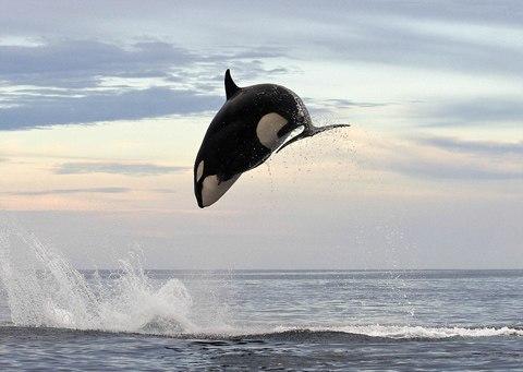 Để có con mồi, cá voi đuổi theo cá voi quanh bờ biền.