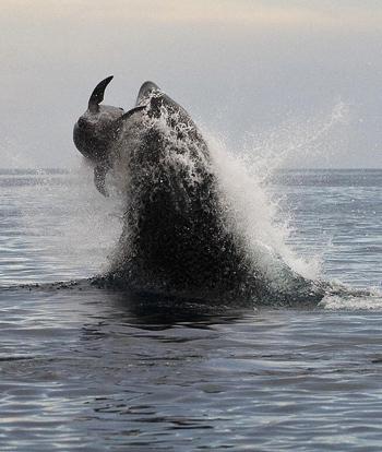 Sau hơn hai tiếng, con cá voi tiêu diệt cá heo bằng cú nhảy cai tới hơn 4 m trên không trung.