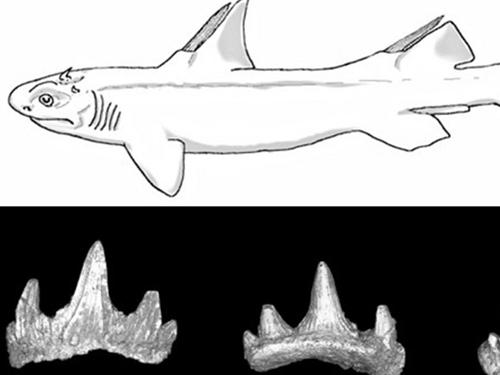 Các mẫu hóa thạch tìm được và phác thảo loài cá mập Quỷ răng. (Ảnh : Northern Arizona University )