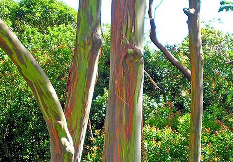 gười ta cứ ngỡ rằng ai đó đã dầy công tô vẽ bằng sơn mầu, làm dáng cho loài cây có chiều cao lênh khênh này.