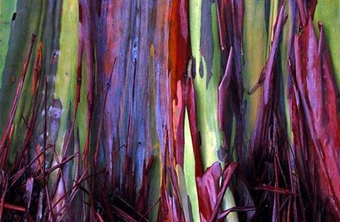 Bạch đàn cầu vòng là một trong những loài cây có chiều cao nhất thế giới. Chúng đạt tới hơn 75m khi trưởng thành.