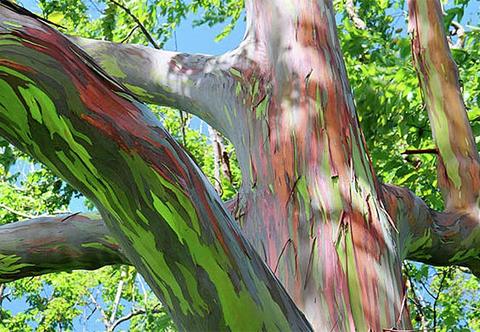 Những mầu sắc trên thân cây là kết quả của quá trình thay vỏ nhiều lần trong năm.