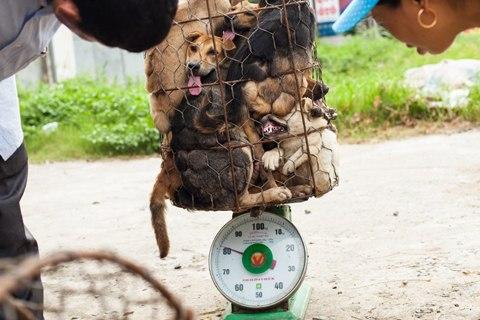 Những con chó bị nhồi chặt trong lồng sắt để vận chuyển từ Thái Lan sang Việt Nam. Ảnh: Theglobalmail.