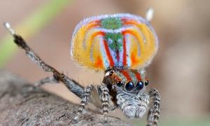 Điệu nhảy gợi tình của nhện công