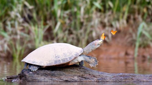 Một vài con bướm bám theo rùa vàng đốm và đậu trên đỉnh đầu của nó. Nước mắt rùa có chứa muối, đặc biệt là natri, một khoáng chất hiếm ở phía tây Amazon.