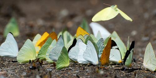 Đàn bướm tụ tập để thu hoạch khoáng chất từ vũng bùn. Nước mắt của rùa không phải là nguồn cung cấp muối duy nhất đối với loài bướm. Côn trùng còn có thể lấy muối từ nước tiểu động vật, các dòng sông, vũng nước, quần áo ướt và những người đầy mồ hôi.