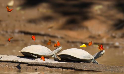 Chảy nước mắt là cách để loài rùa bài tiết số muối quá lớn ra khỏi cơ thể. Mặc dù chúng không thể tự mình lau chùi nước mắt, bướm giúp chúng để xử lý điều này.