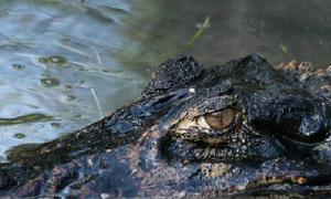 10 loài thủy quái sông Amazon