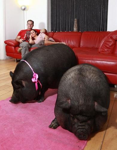 Hai chú lợn ỉ Việt Nam trong phòng khách của nhà Bryne. Ảnh:Ross Parry Agency