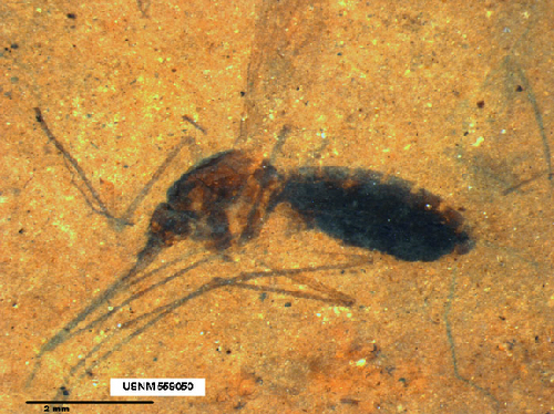 Blood-engorged-mosquito-fossil-3048-1381