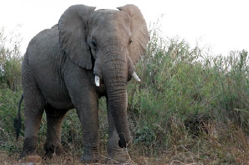 elephant-5590-1382404287.jpg