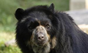 Gấu Nam Mỹ ghét bị chụp ảnh