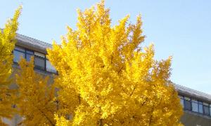 Seoul đau đầu vì hàng cây tuyệt đẹp mùa thu