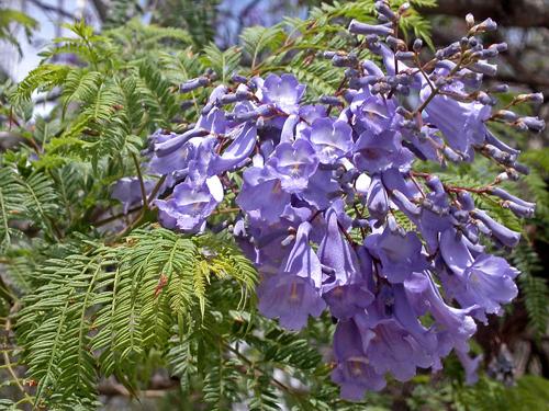 Những bông hoa chuông nhỏ màu tím dài chừng 4-5cm rung rinh trong nắng