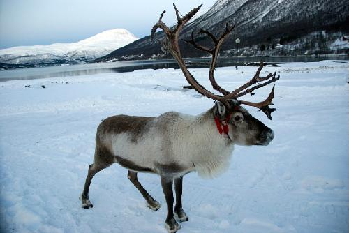 reindeerinwinter-7878-1383273904.jpg