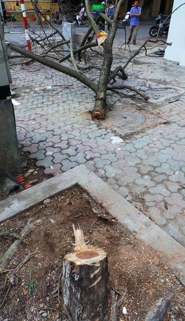 Cây sưa đỏ phần đầu đã có dấu hiệu bị khô héo và chết dần.