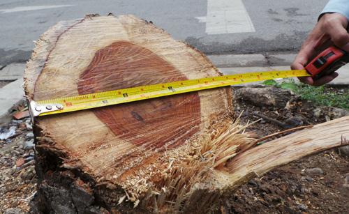 Phần thân cây có đường kính hơn 20cm, lõi đỏ có đường kính 15cm