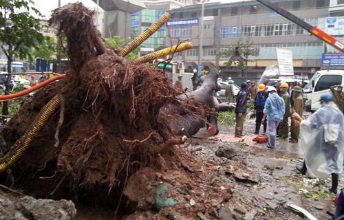 Toàn bộ gốc bị bật. Theo một số người dân, rất may cây đổ vào sáng sớm, đường vắng người qua lại nên không gây thiệt hại.