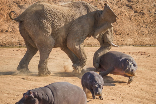 An-elephant-bull-charges-a-female-hippop