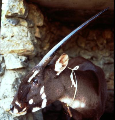 saola-female1-120520-1996.jpg