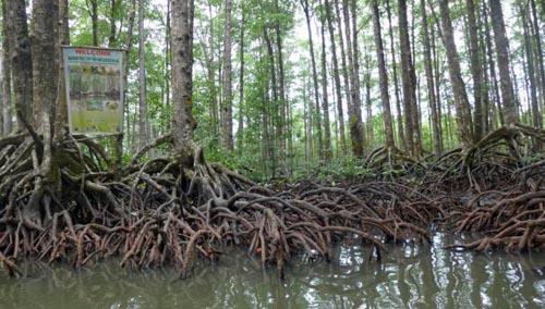 mangrovesphil241113e-9334-1385438002.jpg