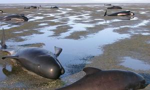 39 cá voi chết vì mắc cạn ở New Zealand