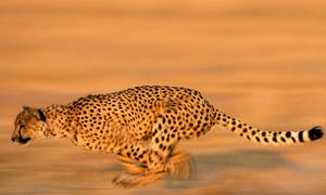 Những loài động vật nhanh nhất thế giới