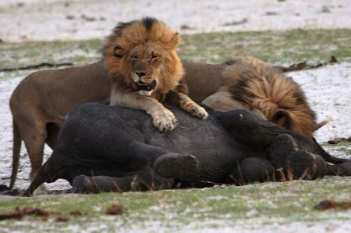 Powerful-lion-takes-down-an-Af-5211-9111