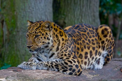 Amur-Leopard-P-p-amurensis.jpg