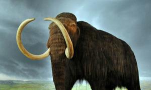 Ngà voi ma mút được tìm thấy ở công trường xây dựng
