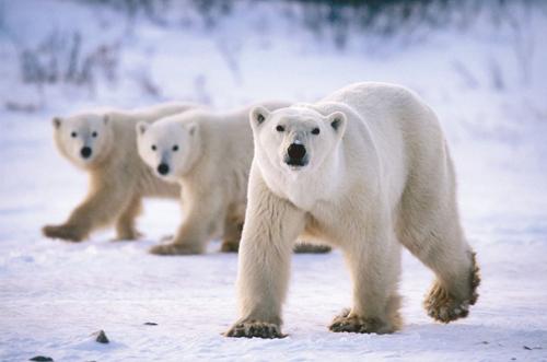 polar-bear-21-9076-1393557165.jpg