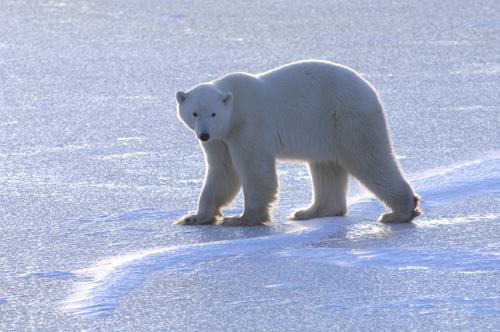 polar-bear-migration-7992-1393557165.jpg