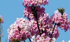 Hoa kèn hồng khoe sắc đường Sài Gòn