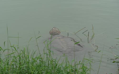 Các chuyên gia cho rằng, rùa hồ Gươm đã trở thành biểu tượng linh thiêng của người Hà Nội, vì vậy không nên thả thêm nào xuống hồ. Ảnh: Hà Đình Đức.