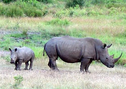 Tê giác đang Ảnh: marietta.edu.