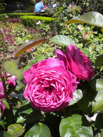 [hoa hồng tím