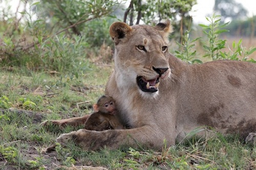 Lion-and-Baboon-600x399-3809-1396944296.