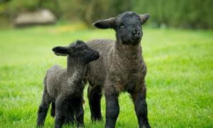 Con cừu non lớn nhất thế giới