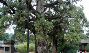 Nhân bản cây bách 5.000 năm tuổi